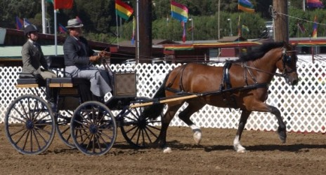 Goldhills Hanky Panky LOM AOE - Section D Welsh Cob Mare