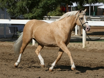 Goldhills Mirage - Section B Welsh Pony Mare