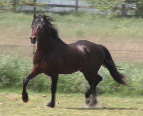Gallod Owain - 2 year old Section D Welsh Colt by *Okeden Welsh Flyer