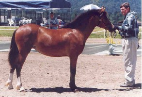 Goldhills Bit-O-Honey Section D Welsh mare