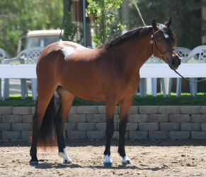 Goldhills Bright Star - Section B Welsh Pony mare - age 2 in photo
