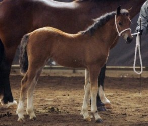 Goldhills Hot Number - Section D Welsh Cob filly