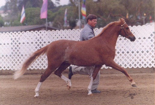 Goldhills Mystique - Section B Welsh Pony Mare