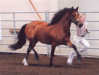 Goldhills Hot Fudge - National Champion Section D Welsh Cob filly