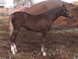 Goldhills All That Glitters - Welsh Section B filly & ASPR 1st Premium