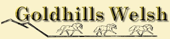 Welcome to Goldhills Welsh Ponies and Welsh Cobs