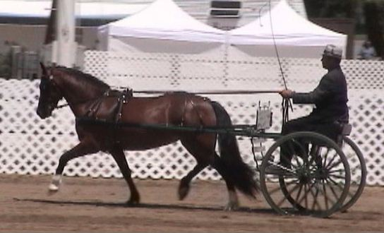 Goldhills Hanky Panky - Section D Welsh Mare