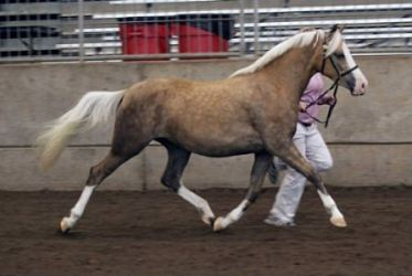 Goldhills Love Letter - Section B Welsh Mare