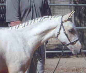 Goldhills Most Wanted - 2003 Section B Welsh colt at his Sport Pony Inspection