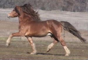 Goldhills Welsh - Welsh Cob Stallion *Okeden Taffy
