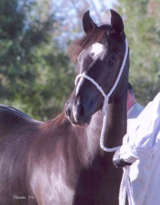 Goldhills High Tea - Section D Welsh Cob filly