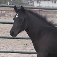 Goldhills Gin-n-Tonic - Section D Welsh Cob colt